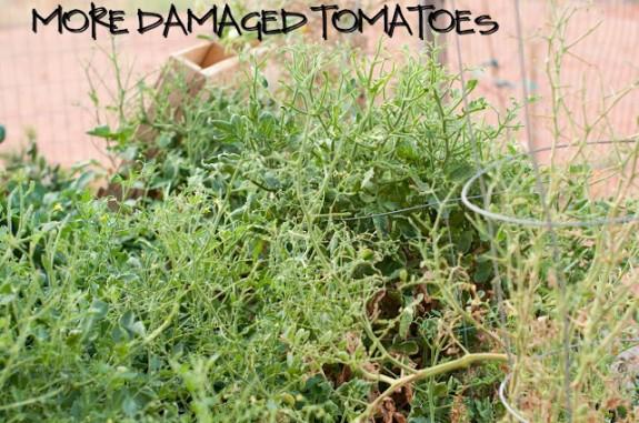 DSC 1907 575x381 Garden Basics   Planting & Pests
