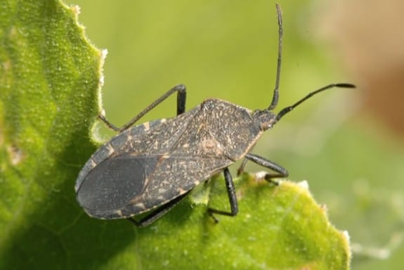 adult squash bug 575x384 Garden Basics   Planting & Pests