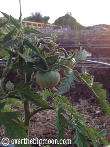 tomatoplant Using Essential Oils in the Yard & Garden