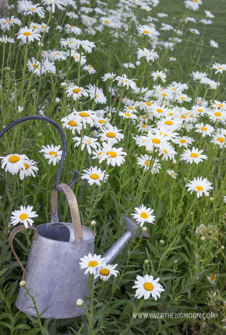 Tips for growing a daisy garden over the big moon i have never had a lot of success growing them in the past but now we have a thriving daisy garden with other fun perennials growing throughout izmirmasajfo