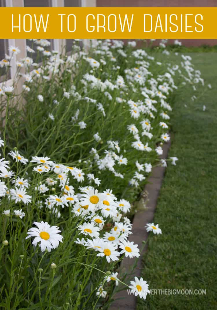 Tips for growing a daisy garden over the big moon when we first moved into our house i knew one day we would have daisies visible from the inside of the windows i love daisies they have been my favorite izmirmasajfo