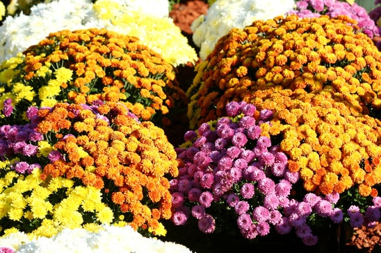 I Can T Wait For My Pots To Be Filled With Beautiful Full Mums Like The Above Picture By Planting Them In August It Will Give A Month Really Soak