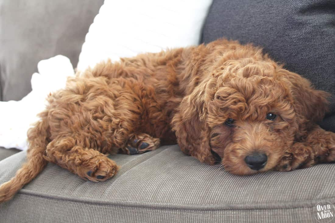 Quinn the Mini Goldendoodle - possibly the cutest dog ever!
